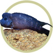 Miscellaneous African Cichlids : Misc. African Cichlids